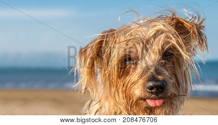expressive dog blurred sea background. Doggy hairy ear staring at the camera in a contemplative attitude, Yorkshire Terrier brown. Copy space