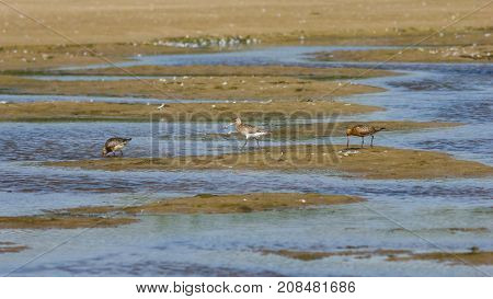 Three Bar-tailed Godwits or Limosa lapponica walk at seashore portrait selective focus shallow DOF.