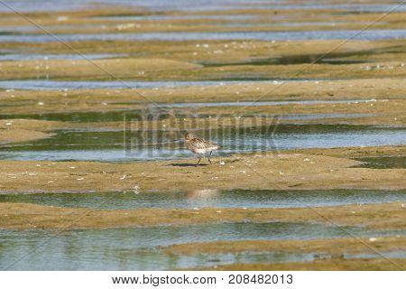 Female Bar-tailed Godwits or Limosa lapponica walks at seashore portrait selective focus shallow DOF.