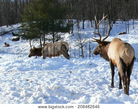 Deer In Quebec. Canada Part Of North America.