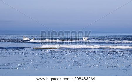 Mute swans swimming between ice floes in the Finnish Gulf, the Baltic Sea