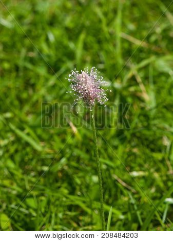 Hoary Plantain Plantago media blossom in weed macro selective focus shallow DOF.