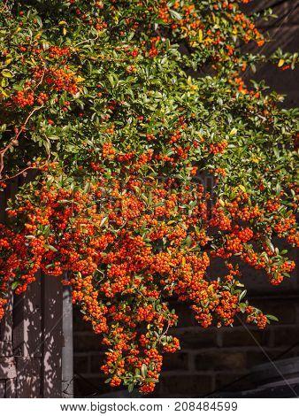 Hedge with orange berries (Pyracantha Orange Charmer)