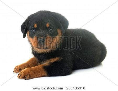 puppy rottweiler in front of white background