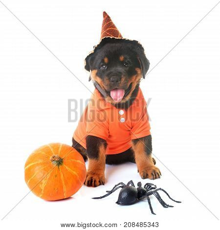 puppy rottweiler and halloween in front of white background