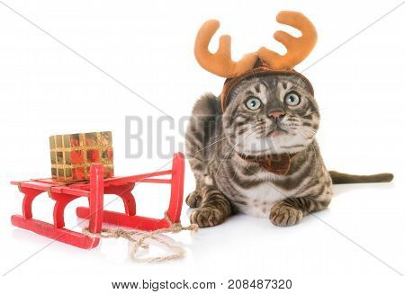 bengal cat and fancy dress in front of white background