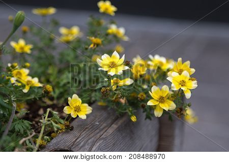 Yellow Buttercups Anemones Flowers Herbaceous Perennial Plant inside Wooden Vase