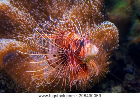 Pterois, Venomous Marine Fish, Commonly Known As Lionfish.