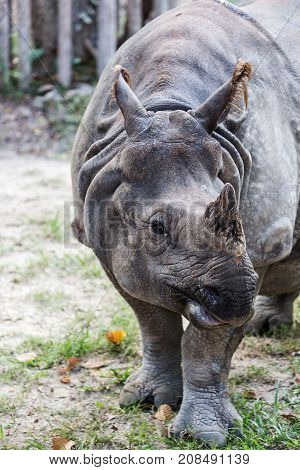Big endangered indian rhinoceros (one horned rhinoceros)