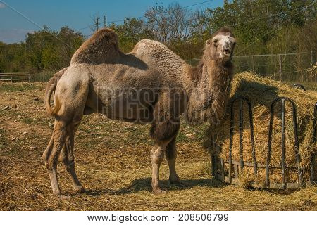 Portrait of african dromedary with funny expression