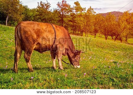 Cow grazing on a sunny day .