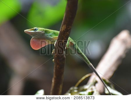 Really Long Tail on this Red Throated Lizard
