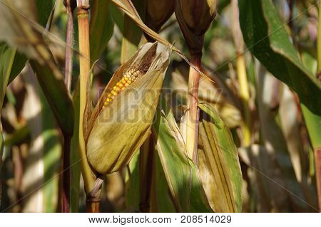 Corn cob on field ready to harvest. Autumn sunny day rural theme.