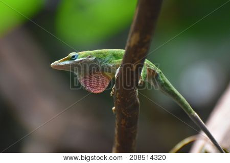Cool Throat on this Red Throated Lizard