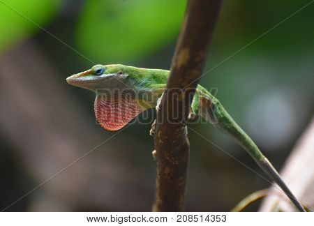 Nice Image of a Red Throated Lizard