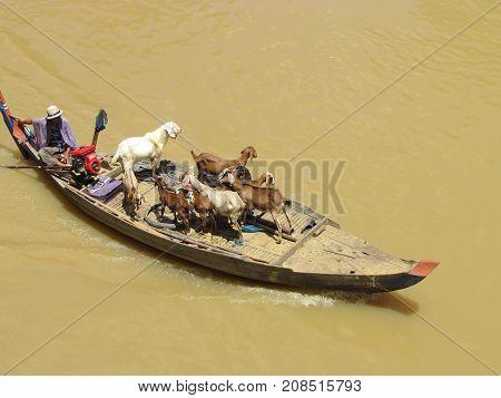 Battambang Cambodia, 29 September 2015: Small boat carrying goats on muddy river in Cambodia