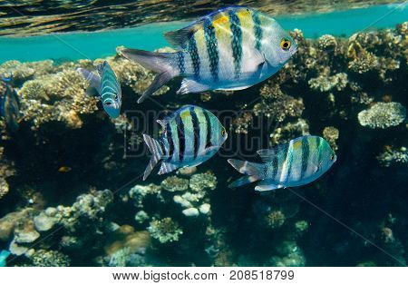 Indo-Pacific Sergeants underwater shot Red Sea coral reef