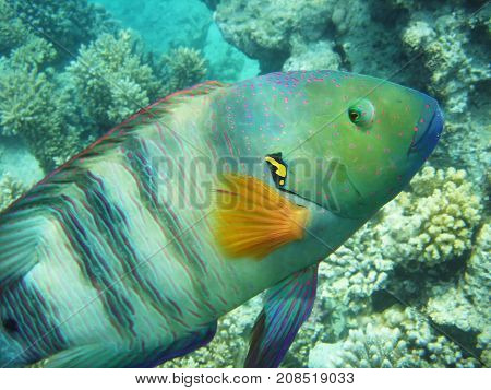 Coral fish broomtail wrasse underwater shot Red Sea