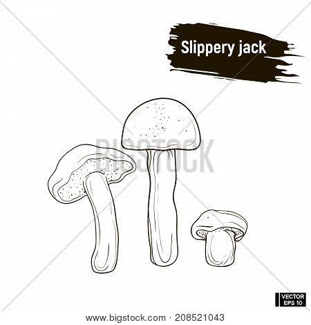 Outline Mushrooms, Slippery Jack Sketch.