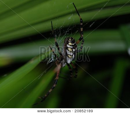Florida spider in web, insect, closeup, nature poster