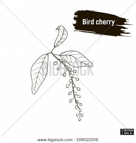 Outline Berry, Bird Cherry Sketch.