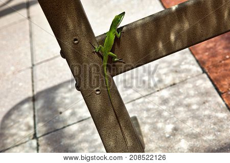 The anole lizard checking out the poolside guests in Florida