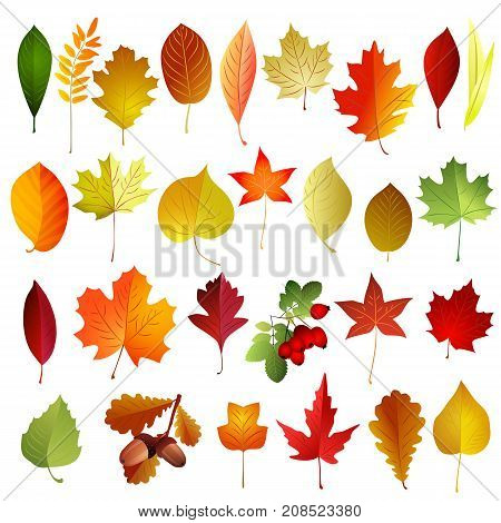 Set of autumn colored leaves . Vector elements .