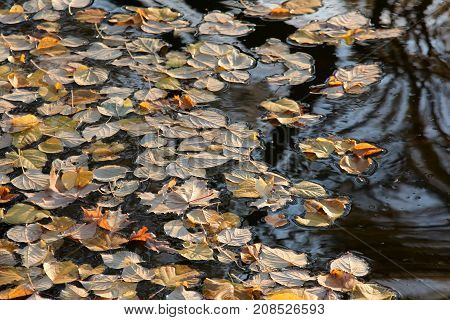 the fallen yellow autumn leaves on water