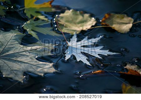 the autumn leaf lies in a puddle
