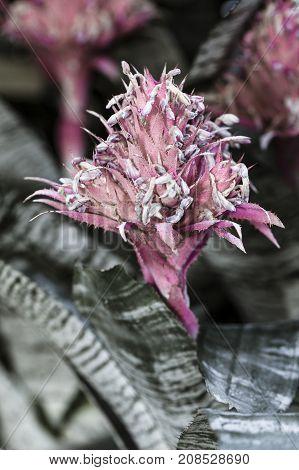 Pretty silver vase flower. The pretty pink Silver Vase flower in an arboretum.