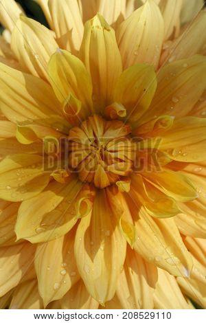 Inside a yellow dahlia. A macro image of a yellow dahlia flower.