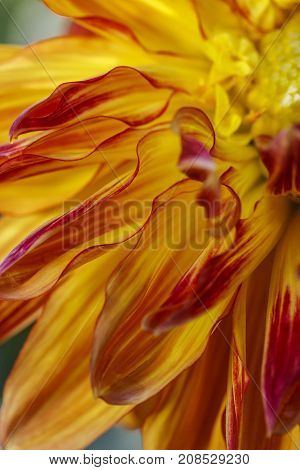 Red and yellow dahlia petals. A macro image of a yellow dahlia flower with red tips.