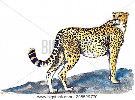 Cheetah standing on the rock and looking forward, isolated hand painted watercolor illustration