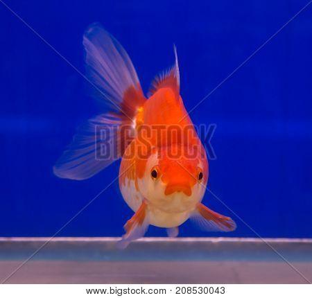 Ryukin goldfish in a blue background aquarium