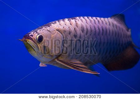 Asian gold arowana fish in a blue background