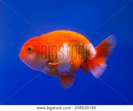 Lionhead goldfish in a blue background aquarium