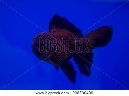 Black oranda goldfish in a blue background