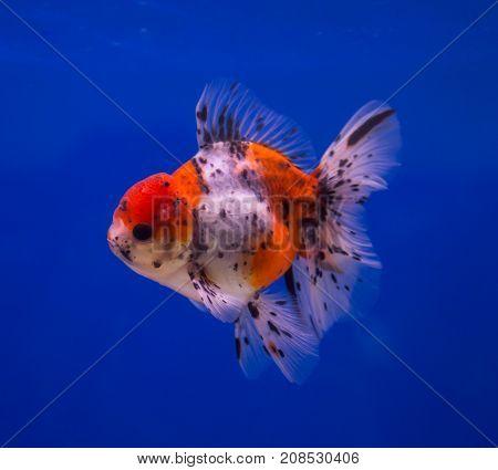 Calico oranda goldfish in a blue background