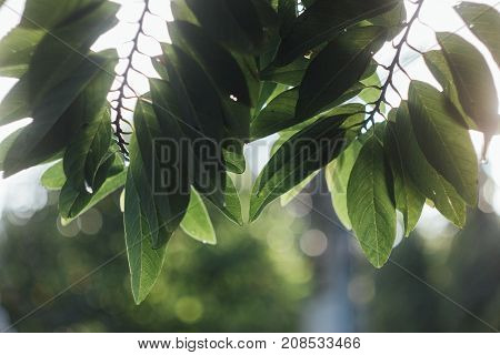 Custard apple leaves with backlit and blurry background