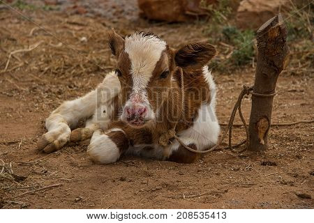 photo of a small brown and white calf sitting on the ground