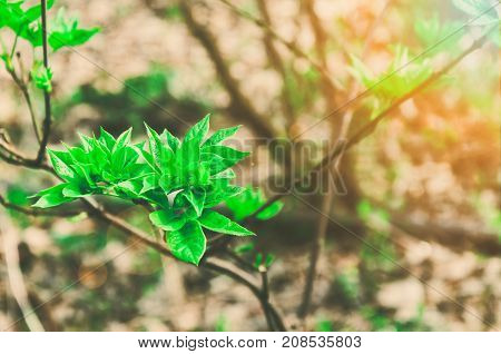 Fairy tale nature. New life in the forest young green rowan twig with leaves growing in the springtime with fairy tale sunlight and flare