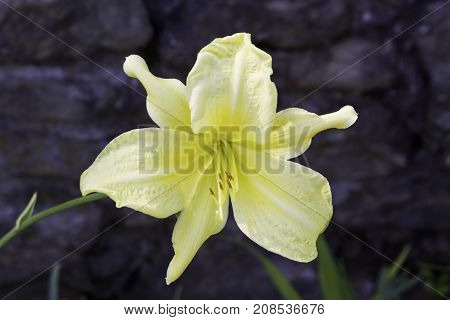 Wide close up of a vibrant yellow lily near Caraquet, New Brunswick on a sunny afternoon in August.