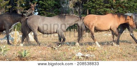 Wild Horses - Grulla and Buckskin Dun mares walking in the morning in the Pryor Mountains Wild Horse Range in Montana United States