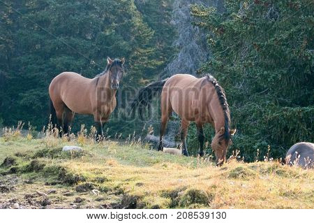 Wild Horses - Dark Coyote Dun stallion alongside grazing Buckskin Dun mare in the Pryor Mountains Wild Horse Range in Montana United States