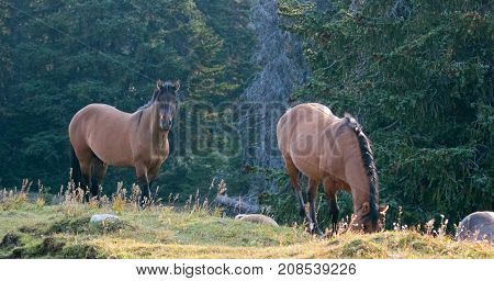Wild Horses - Coyote Dun stallion alongside grazing Buckskin Dun mare in the Pryor Mountains Wild Horse Range in Montana United States
