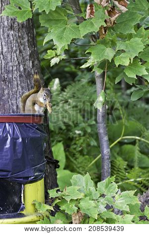 3 Vertical of a brown/grey squirrel chewing on some food while sitting on a plastic garbage container attached to a trees with greenery at Pabineau Falls near Bathurst, New Brunswick on a bright sunny day with blue skies and clouds in August.