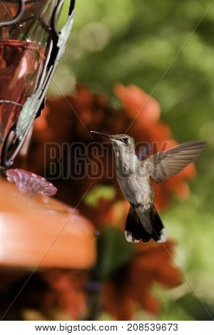 Vertical close up of a humming bird flying up to the edge of a feeder with soft focus red flowers and greenery at Pabineau Falls near Bathurst, New Brunswick on a bright sunny day with blue skies and clouds in August.