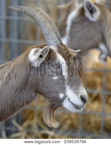 a long-horned goat in the farm's fence