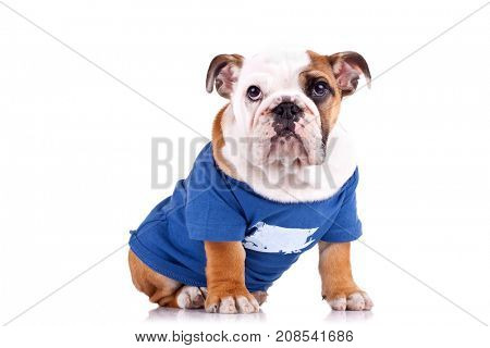 cute english bulldog puppy sitting in nice pet clothes over white