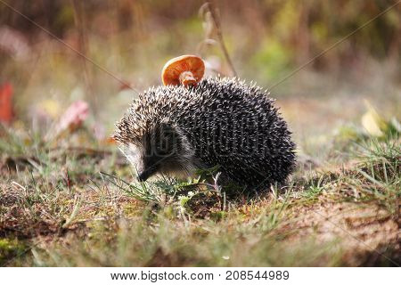 Spiny hedgehog in the autumn forest